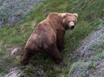 Взляд камчатского медведя